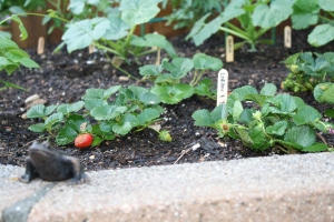 Tristan & Loran Variety Strawberries | The Fairly Good Mother
