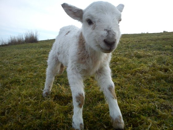 Awa ... how cute is this little lamb?  He shakes his tail slowly :)